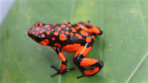 Image of Red and Black Color Frog