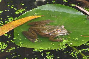 Leaf on Water and Frog in Leaf