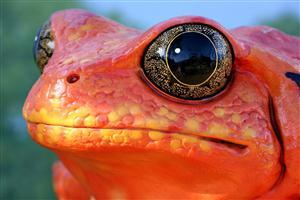 Red Frog Image