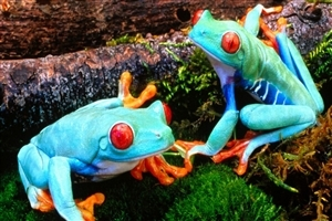 Two Sky Blue Frog Seating on Leaf HD Animal Wallpaper