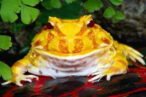 Yellow Frog Quit Sitti...