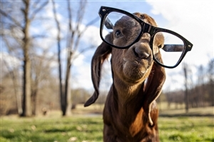 Funny Gote Wear Sunglasses Photo