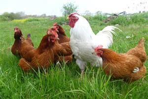 Hens With White Hen Pics
