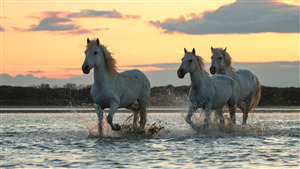 3 White Horses Walk in River at Sunrise Time