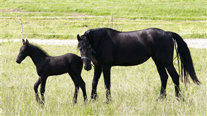 Awesome Wallpaper of Black Horse with Baby Child