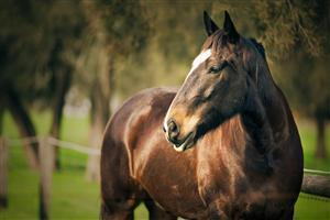 Beautiful Brown Horse Image