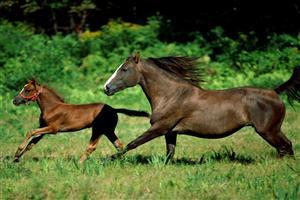 Horse Runing With Foal