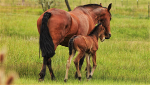 Mother Horse with Child Foal Walking on Grass