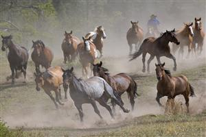 Running Group of Horse