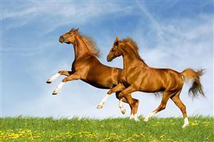 Two Beautiful Brown Horse Image