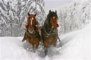 Two Brown Horse in Snow