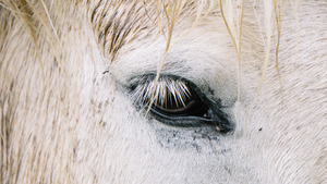 White Horse Close Up Eye Face