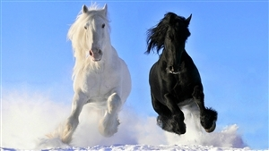 White and Black Horse Running