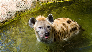 5K Photo of Hyena in Water