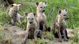 Group of Hyena Cubs Image