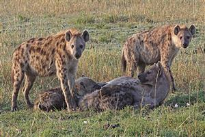 Group of Hyena in Grass