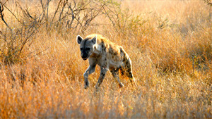 Hyena Running in Jungle 4K Wallpaper