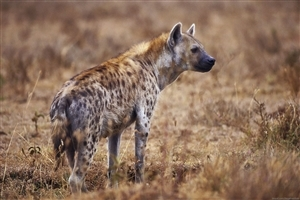 Hyena in Jungle HD Image Background
