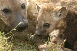 Hyena with Baby Hyena Image