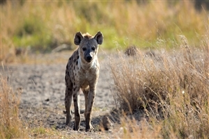 Spotted Hyena in Jungle HD Wild Animal Photo
