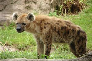 Wild Animal Hyena in Forest