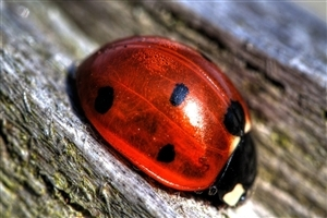 Lady Bug Insect HD Pics