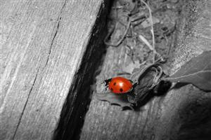 Lady Bug Insect on Wood