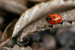 Lady Bug on Dry Leaf