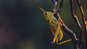 Yellow Grasshopper Insect 5K Photo