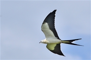 Black and White Kite Bird Photo