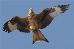 Red Kite Flying on Sky HD Bird Images