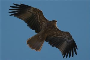 Whistling Kite Flying on Sky