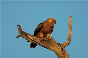 Whistling Kite on Branch