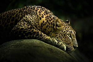 Amazing Wild Animal Leopard HD Wallpapers
