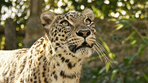 Animal Leopard Desktop Background Picture