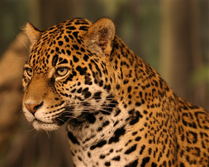 Animal Leopard Face Pic