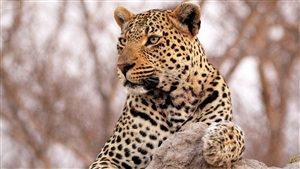 Animal Leopard HD Wallpaper