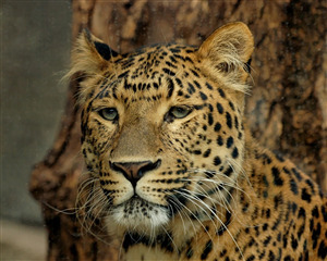 Animal Leopard Pic Download