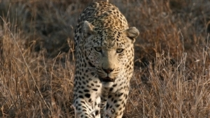 Animal Leopard Walking in Dry Grass