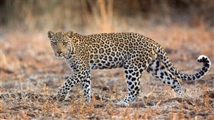 Animal Leopard Wallpaper
