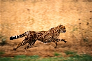 Cheetah Running in Jungle
