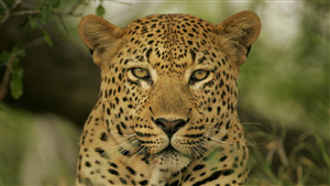 Close Face of Animal Leopard