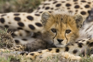 Cute Leopard Child Watching Photo