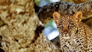 Cutest Baby Leopard