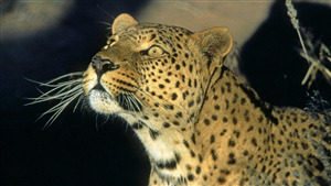 Download Image of Animal Leopard