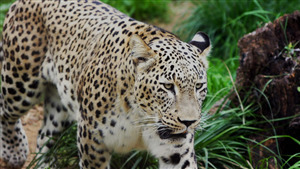Download Image of Wildlife Leopard