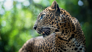 Free Download Pic of Leopard