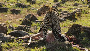 Leopard Attack and Eating Deer in Jungle