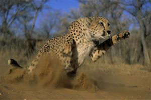 Leopard Chase for Hunting