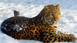 Leopard Sitting on Snow